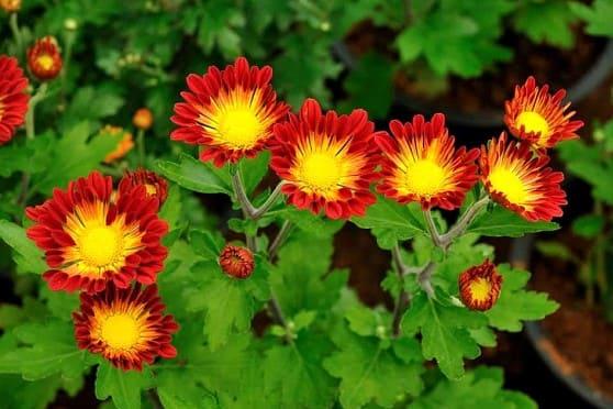 flores amarillas Dianthus Caryophyllus