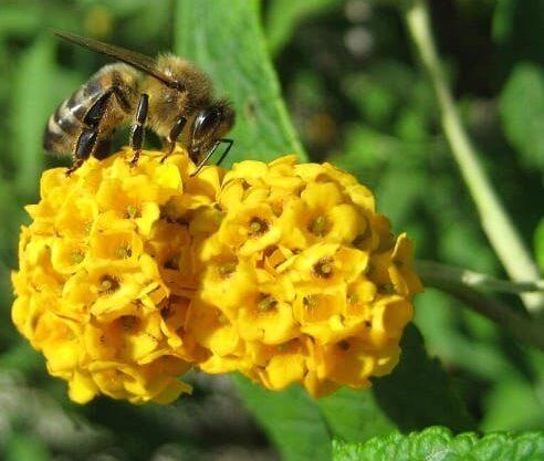 el arbusto de mariposa amarilla
