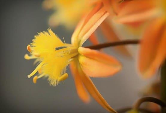 bulbine de color amarillo