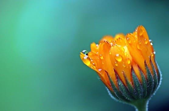 Flores Amarillas MARAVILLA