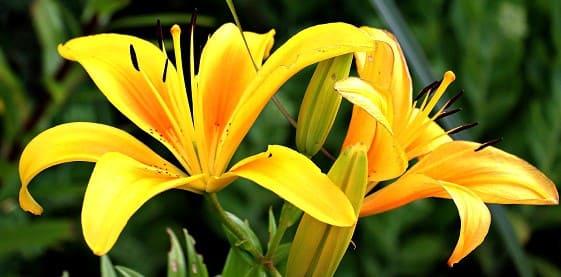 flor amarilla del lirio