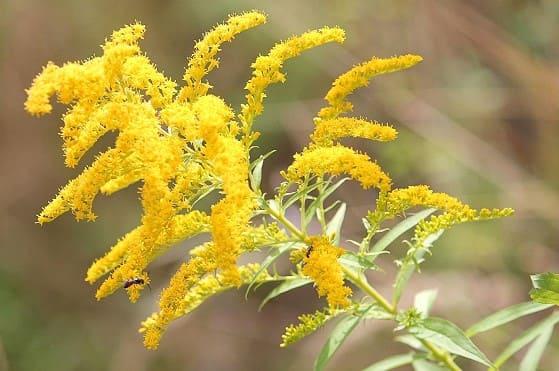 La vara de oro de flor amarilla