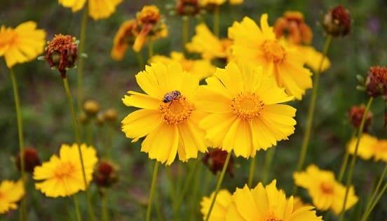 la flor coreopsis amarilla