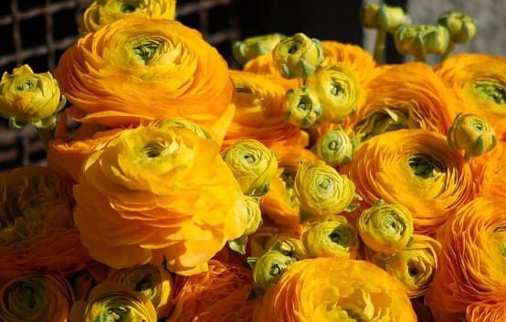 flor amarilla ranúnculo