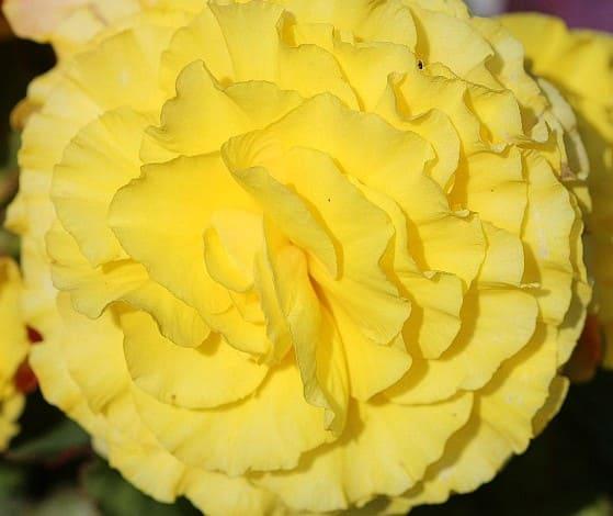La begonia de flor amarilla
