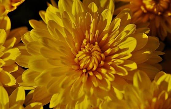 El crisantemo como flor amarilla
