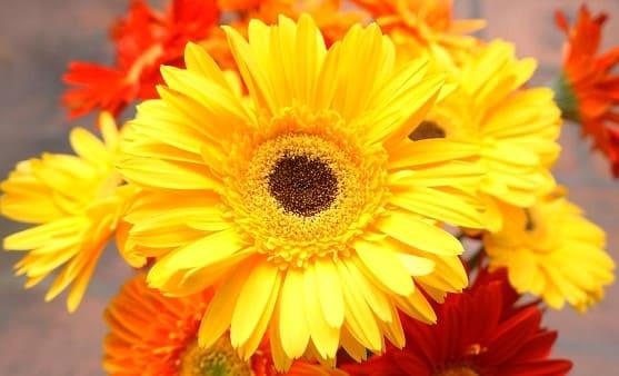 flores la margarita amarilla