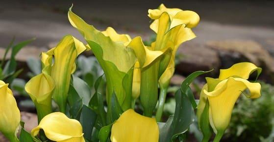 los lirios de Cala de flores amarillas