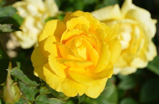 flor amarilla rosa